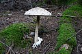 Macrolepiota procera 94982911.jpg