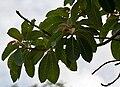 Madhuca longifolia var latifolia (Mahua) leaves W IMG 0247.jpg
