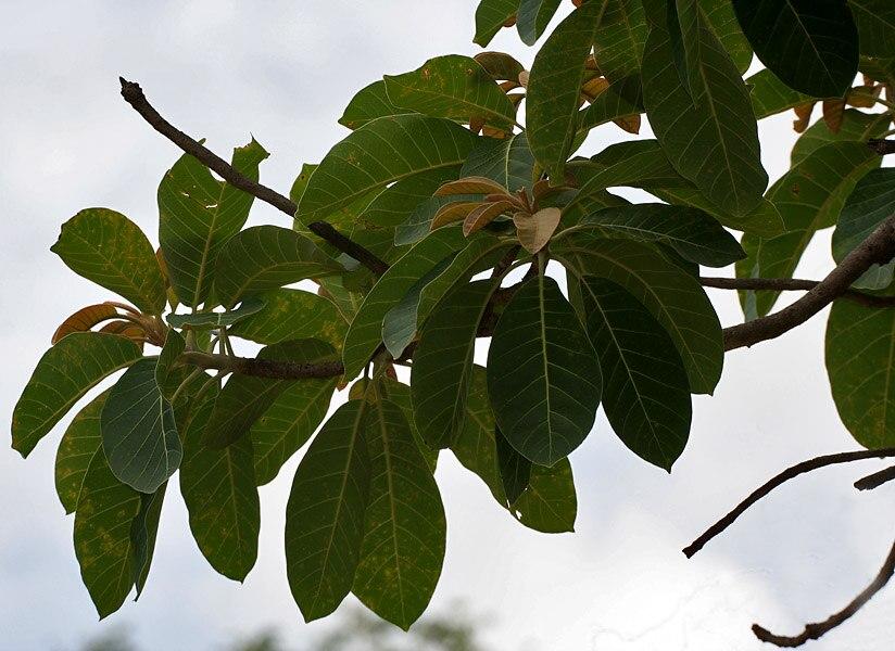 Madhuca longifolia var latifolia (Mahua) leaves W IMG 0247