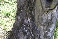Magnolia denudata 10zz.jpg