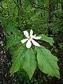Magnolia macrophylla flower2.jpg