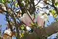 Magnolia x soulangiana Alba 1zz.jpg