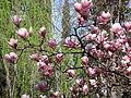 Magnolio de hoja caduca en el Jardín del Príncipe - panoramio - isol.jpg