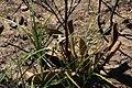 Mairia coriacea Rebelo 1.jpg