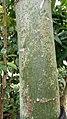 Malabar trunk.jpg