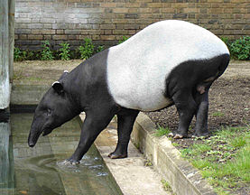 Tapir Asia di Kebun Binatang London