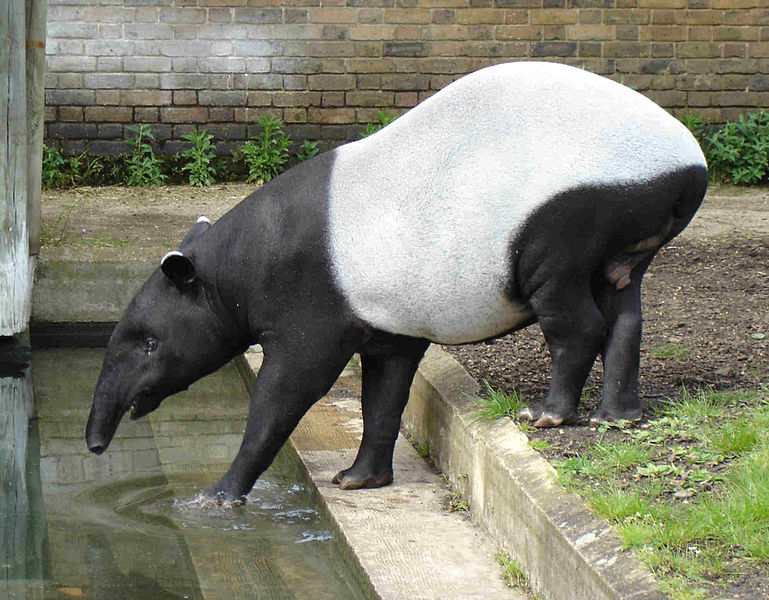 A Malayan Tapir in London Zoo. Photographed by Bluemoose in May 2005.
