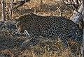 Male Leopard (6177719588).jpg