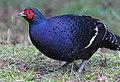 Male Mikado Pheasant.jpg