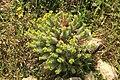 Malta - Marsaxlokk - Triq Delimara - Xrobb L-Ghagin - Euphorbia pinea 08 ies.jpg
