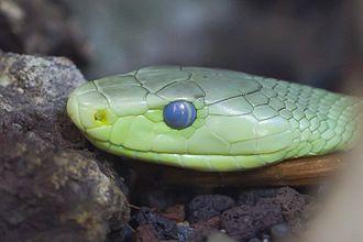 Eastern green mamba - Detail of the head.