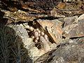 Mammillaria pottsii (5692692975).jpg
