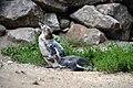 Manchot de Humboldt (Zoo Amiens)5.JPG