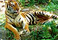 Manila Zoo Tiger By TeamJonalynViray.jpg