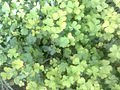 Many clovers.jpg