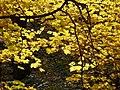 Maple leaves (yellow) PA240060.jpg