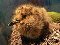Marbled Murrelet chick, Brachyramphus marmoratus Pengo.jpg
