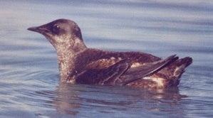 Marbled murrelet breeding plumage