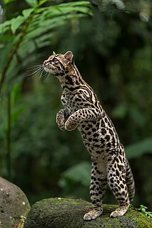 Margay Small wild cat