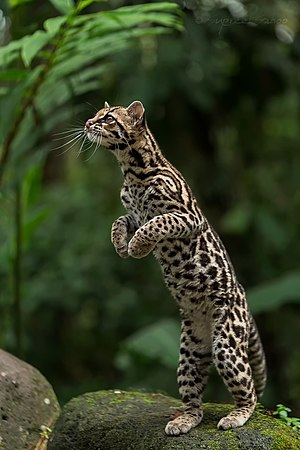 Margay - Margay photographed near one of the active volcanoes in Costa Rica.
