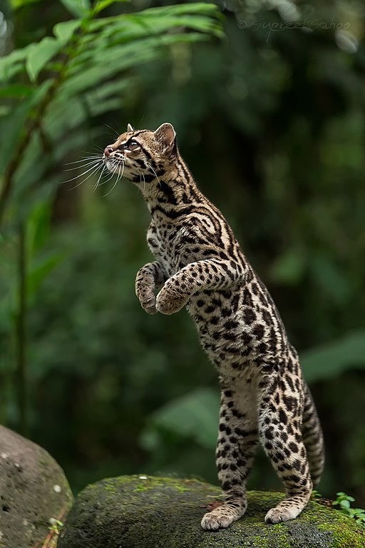 Margay in Costa Rica