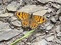 Mariposa saltacercas (Lasiommata megera).JPG