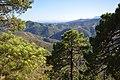 Maritime Pine, Sierra de las Nieves DSC 0300.jpg