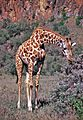 Masai Giraffe (Giraffa camelopardalis tippelskirchi) (8290769509).jpg