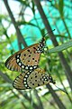 Mating pair of Tawny Coster (Acraea terpsicore) (হরিনছড়া) WLB DSC 018 2.jpg