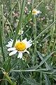 Matricaria chamomilla, Asteraceae 04.jpg