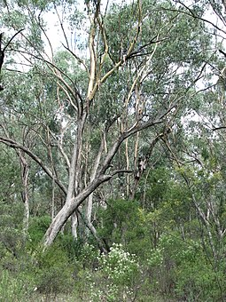 Typical grassy woodland in the Sydney area. Maules Ck.jpg