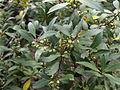Maytenus magellanica.jpg