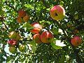 Mazás Bastavales Galicia.jpg