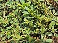 Mecardonia procumbens 02a.JPG