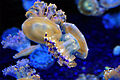 Mediterranean-jellyfish-af.jpg