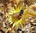 Megachilidae male of Icteranthidium grohmanni (25295087457).jpg