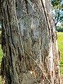 Melaleuca quinquenervia adventitious roots 7th Brigade Park Chermside L1020099.jpg