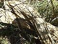 Melaleuca radula (bark).JPG