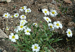 Melampodium-leucanthum.jpg