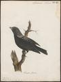 Melanocorypha tartarica - 1786-1789 - Print - Iconographia Zoologica - Special Collections University of Amsterdam - UBA01 IZ16100355.tif
