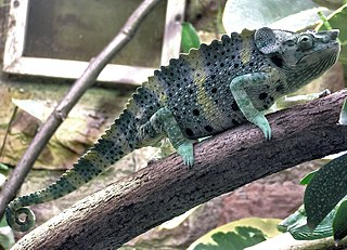 Mellers chameleon species of reptile