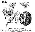Melon-LarousseMedical.jpg