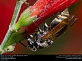Mexican Honey Wasp (Vespidae, Brachygastra mellifica) (30591274156).jpg