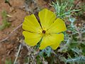 Mexican Poppy (Argemone mexicana) yellow form (11755690173).jpg