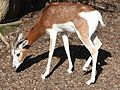 Mhorr Gazelle by Trisha 7.jpg