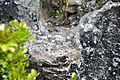 Micritic calcrete paleosol & eolianite limestone clasts filling the bottom of a dissolution pit (Sandy Point Northeast roadcut, San Salvador Island, Bahamas) (16282359139).jpg