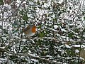 Mid Devon , Robin Red Breast and Snow Covered Holly - geograph.org.uk - 1650392.jpg