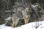 Military working dogs sharpen their skills at JBER 160317-F-YH552-043.jpg