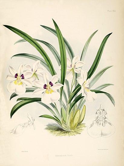 Miltoniopsis roezlii Ботаническая иллюстрация из книги «A Monograph of Odontoglossum», plate 30, 1874г.