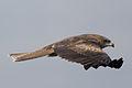 Milvus migrans (Black kite).jpg